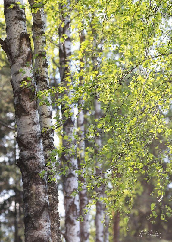 беларусь, березовая роща, лето, жизнь, свежий ветер Моя Белая Русьphoto preview