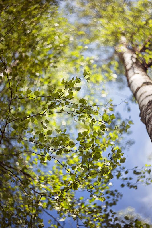 беларусь, лето в лесу, березы,боке, гелиос 44-3 Березовый рай..photo preview