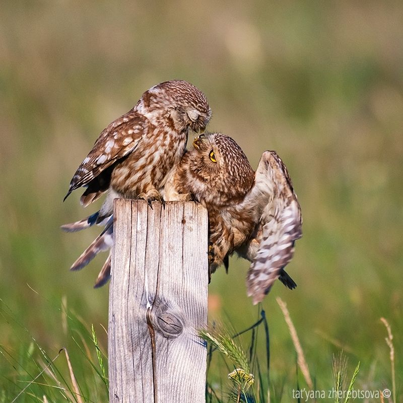 owl, my-mriya, mymriya, wildlife, little owl, Домовые сычи.. Кормление.photo preview