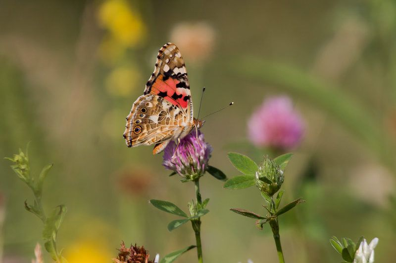 wildlife, insects,butterfly, насекомые, бабочка, vanessa cardui Репейницаphoto preview