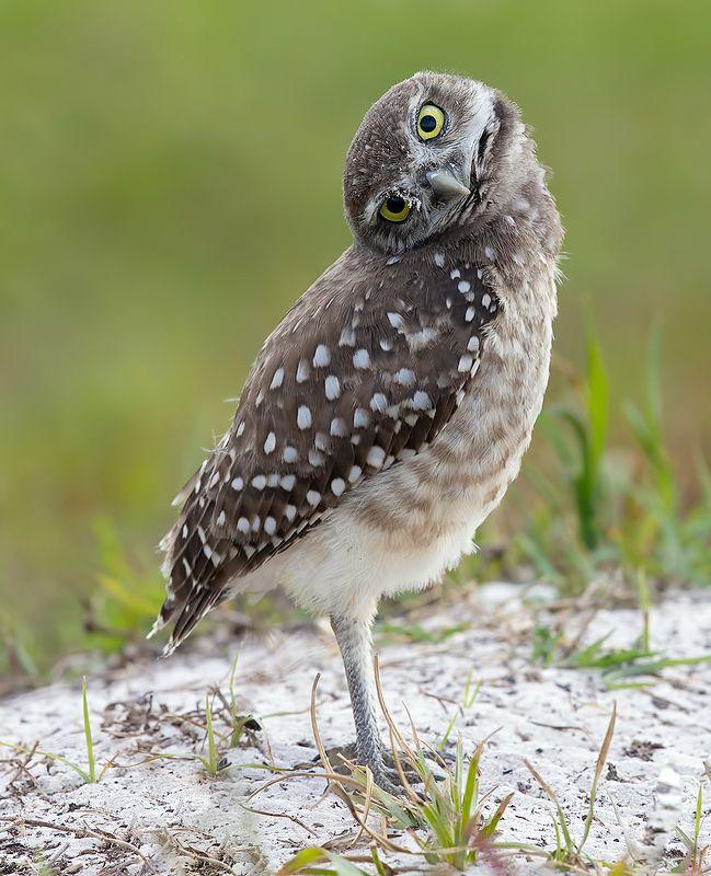 Burrowing Owlet - Кроличий сыч