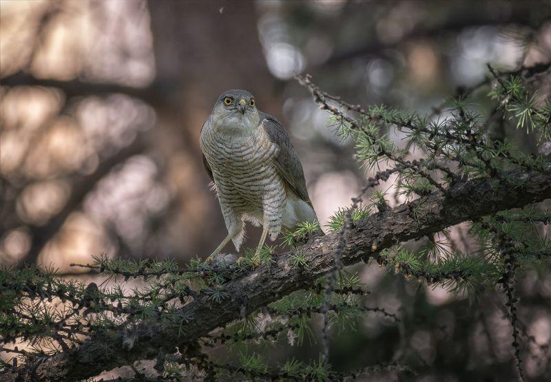 птица, ястреб перепелятник, хищник, добыча, охота, Ястреб..photo preview