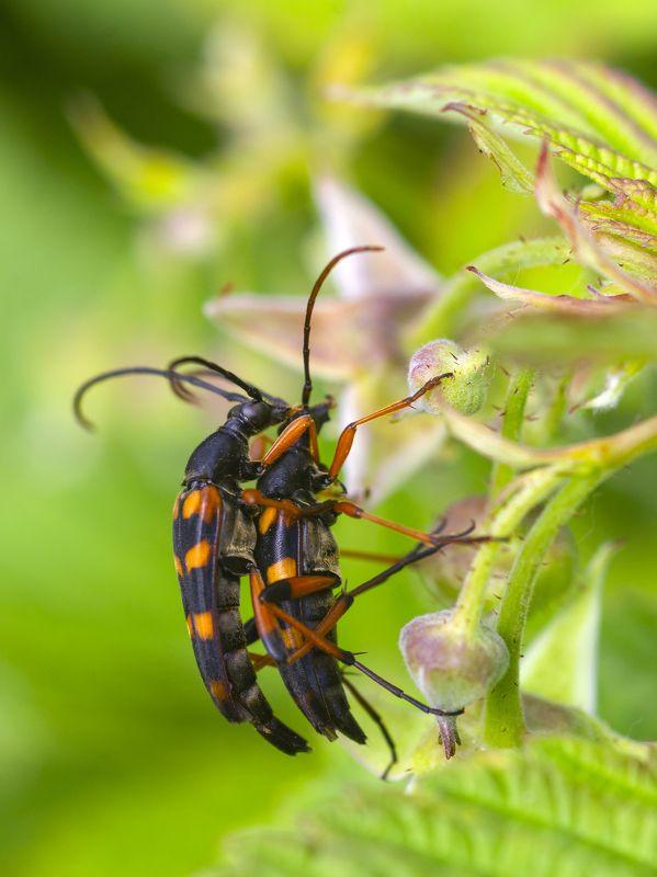 природа, лето, жуки, насекомые, жесткокрылые Любовьphoto preview