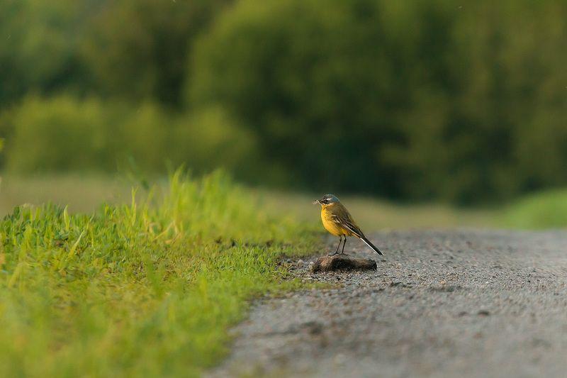 птицы, желтая трясогузка, wildlife, birds, весна, western yellow wagtail Высоко сижу - далеко гляжуphoto preview