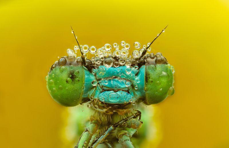макро, стрекоза, лето, насекомые, стекинг королева летаphoto preview