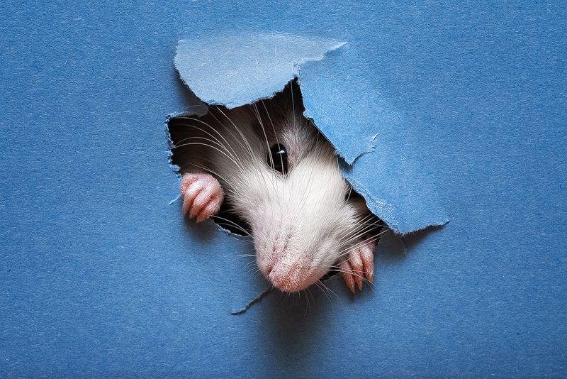 крыса, крыса дамбо, животные, грызуны Флэшкаphoto preview
