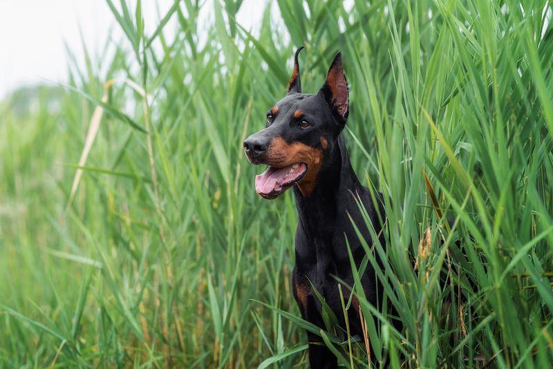 собака, животное, доберман В камышахphoto preview