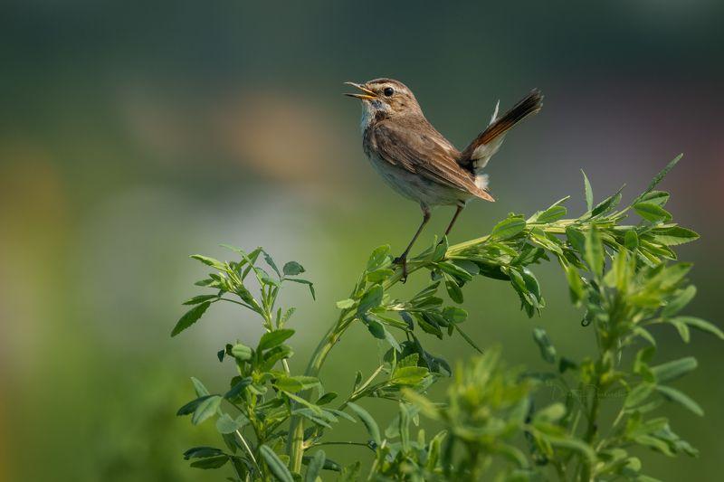 природа, лес, поля, огороды, животные, птицы, макро Скромняжка, во всей красеphoto preview