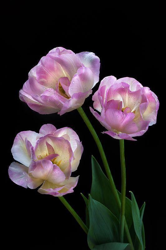 тюльпан, тюльпаны, цветы, цветок, розовый, флора, природа, лепестки, цвет, черный фон, минимализм Тюльпаныphoto preview