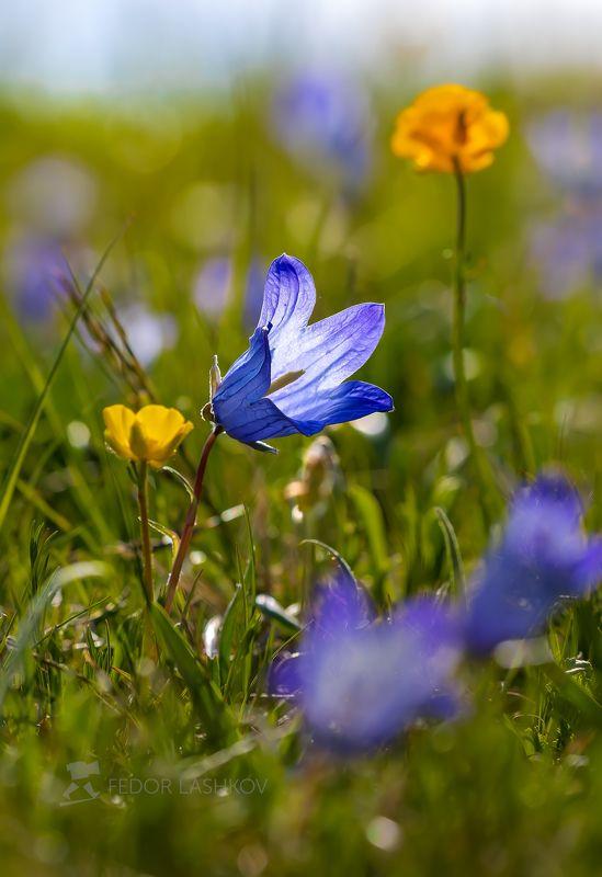 горы, гора, архыз, альпийские, луг, колокольчик, цветы, цветущие луга, цветок, весна, в горах, облака, северный кавказ, вершины, облака, Весна в горахphoto preview