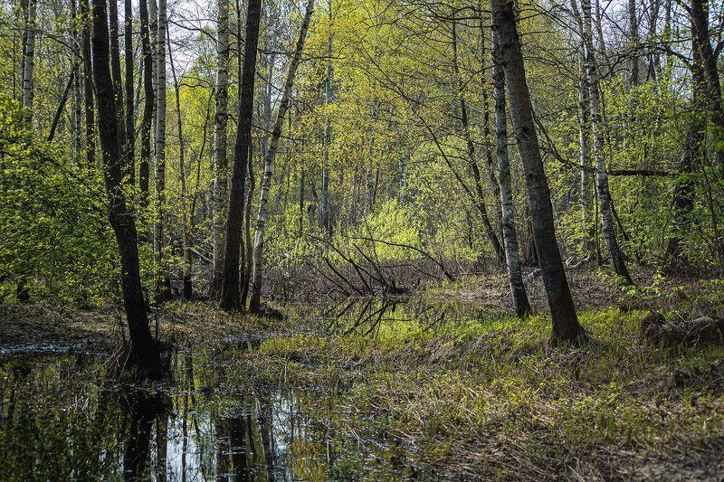 весна, молодая зелень, сочная зелень, березы, осины, мещёра, рязанская область В глубине майского лесаphoto preview