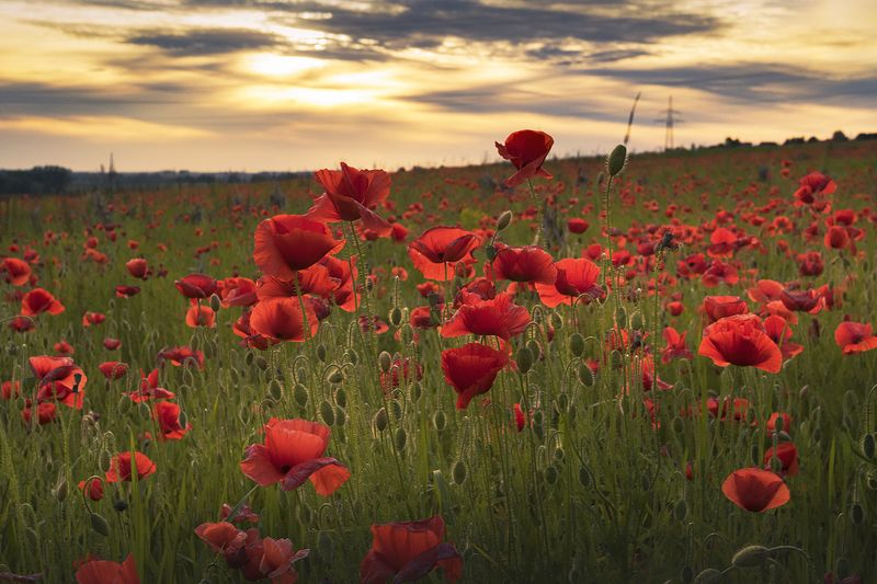 Poppies from Silesiaphoto preview