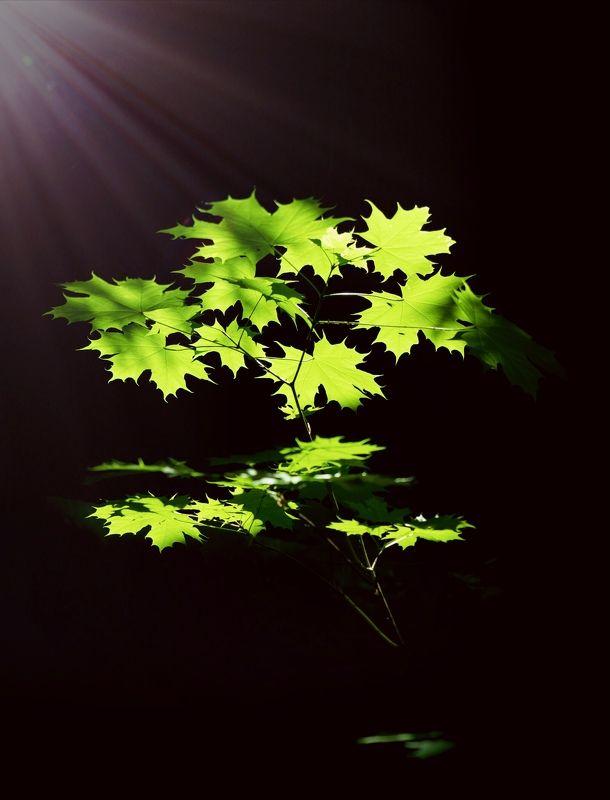 acer platanoides sunlight Кленикphoto preview