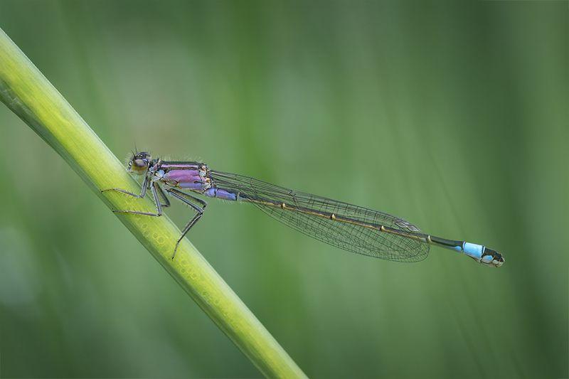 стрекоза, макро, dragonfly, macro Футуристический хищный вертолётphoto preview