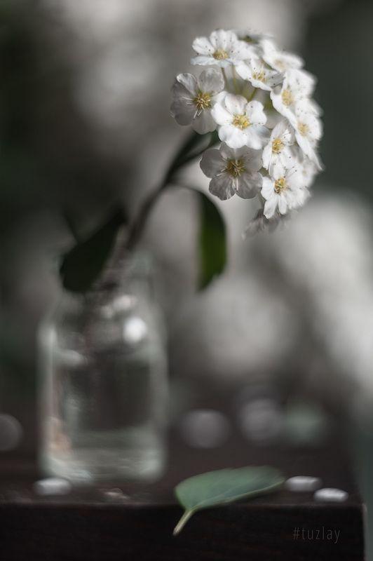 спирея, весна во флаконе, невеста, гелиос 44 Вертикальные вариации с веточкой спиреиphoto preview