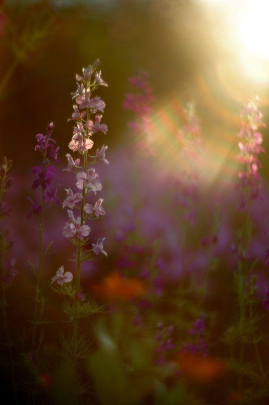 лето, вечер, июнь, цветы, солнце, лучи Июньский вечерphoto preview
