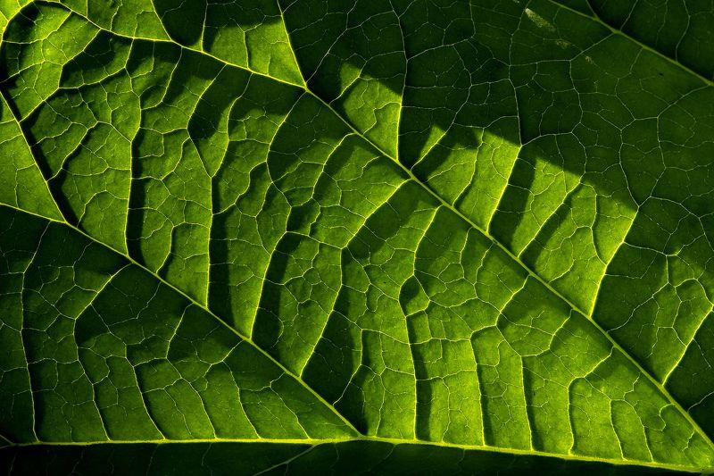 природа, растения, макро, свет, цвет, лист, растения, макро, прожилки на листьях Свет и цветphoto preview