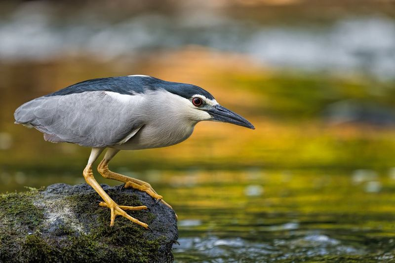 Ślepowron (Nycticorax nycticorax)photo preview