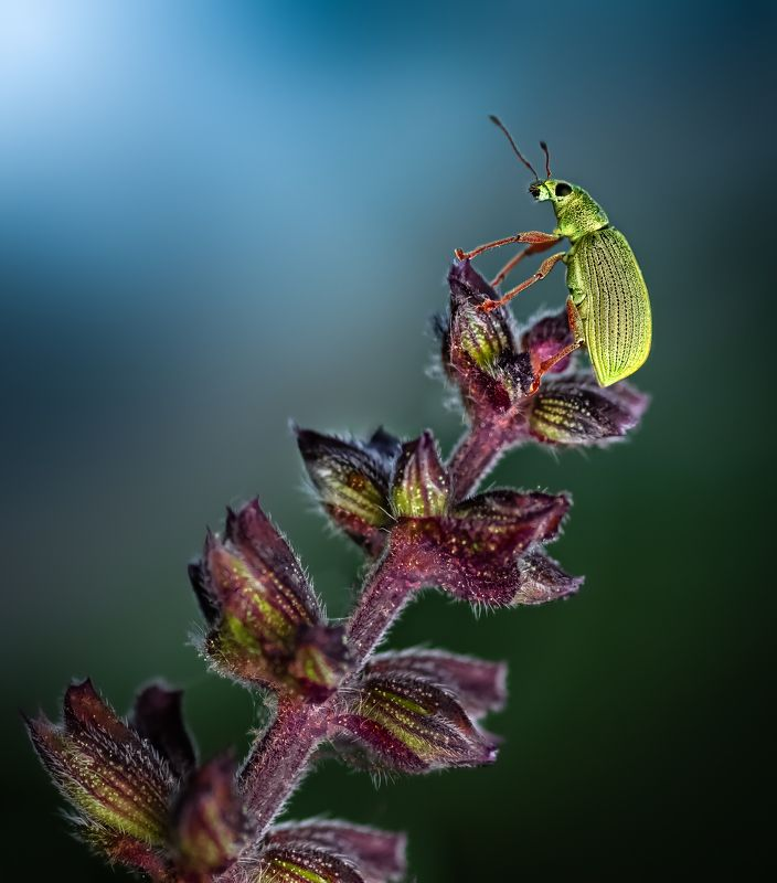insect, beetle, weevil, lavender, sage, night, macro, wild, nature, grass, Night dwellerphoto preview