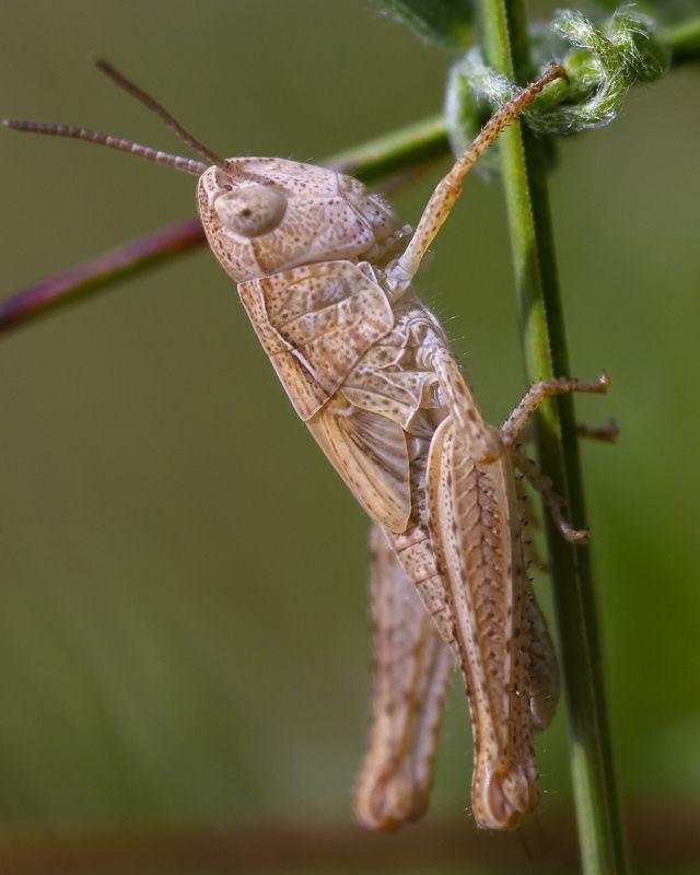 природа, лето, насекомые, кузнечики Не зеленыйphoto preview