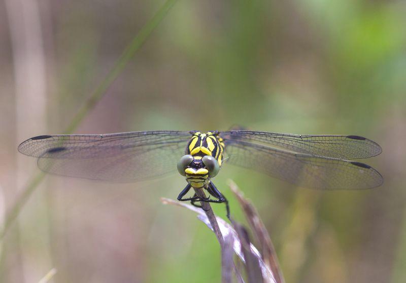 природа, насекомые, стрекозы, макро, лето К взлету готоваphoto preview