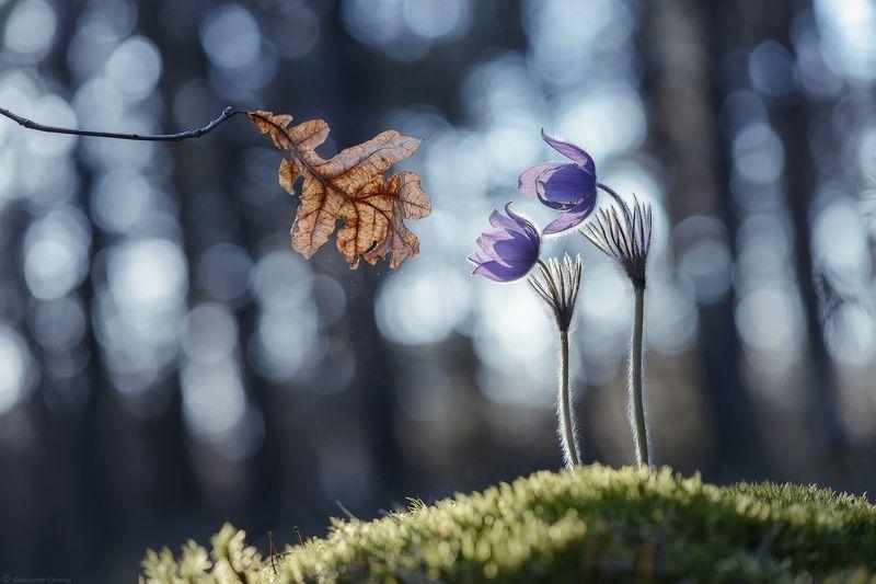 украина, коростышев, весна, апрель, цветы, сон-трава, прострел (рulsatilla), безмолвие, гармония, мгновение, осенний листик, увядание, быстротечность, жизнь, макро, макро мир, макро красота, волшебство, фотограф, чорный, \