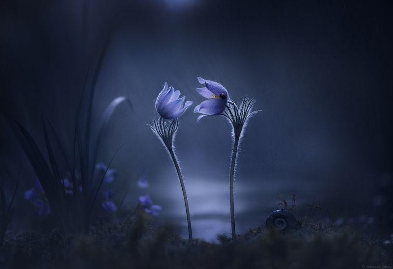 весна, май, цветы, сон-трава, двое, ночь, сумерки, дождь, нежность, любовь, дыхание, безмолвие, молчание, тишина, гармония, волшебство, сказка, магия, единение, макро, макро мир, макро истории, фотограф чорный, \