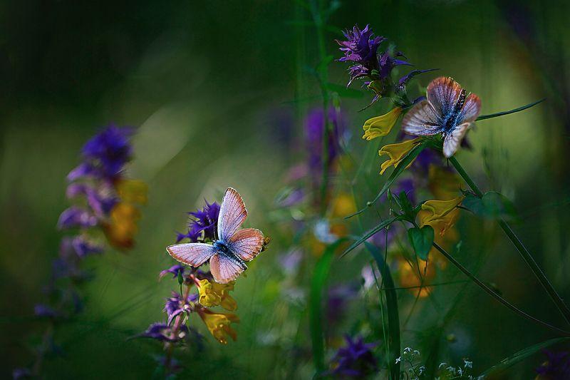 миламиронова, макро, лето, разнотравье, цветы, бабочки, иван-да-марья Иван-да-марья...photo preview