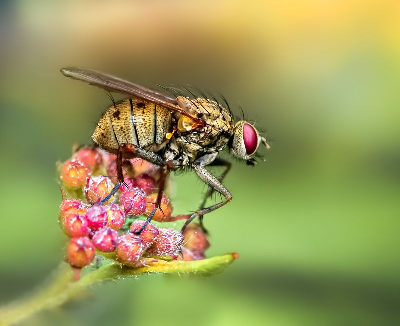 insect, fly, tiger fly, flower, floral, macro, wild, nature, Perchedphoto preview