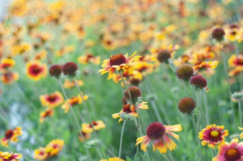 гайлардия, флора, цветы, гелиос 44 С Гелиосом по городским улочкам. Гайлардияphoto preview