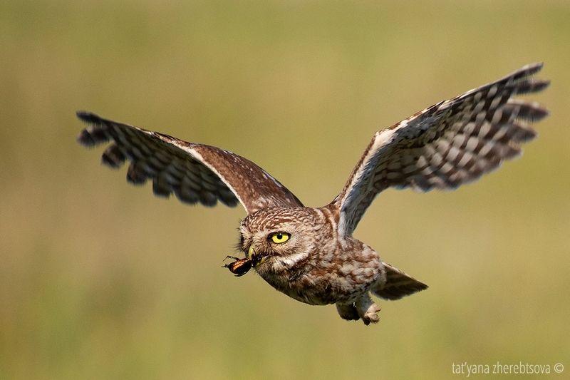 owl, my-mriya, mymriya, wildlife, little owl, Домовый сычphoto preview