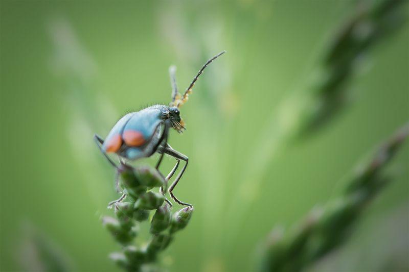 жук, макро, malachius bipustulatus, малашка, macro Кто здесь??photo preview