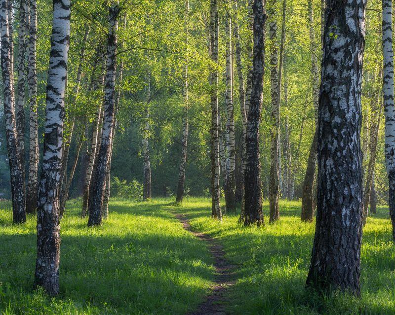 березы, утро, природа, рассвет. пейзаж, весна, Московская область. Россия Весенним утром, в березовом лесуphoto preview