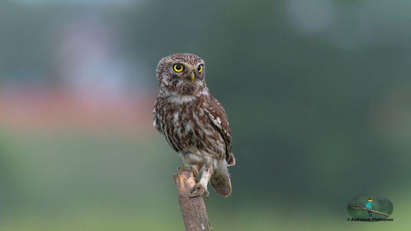 wildlife Сычик домовойphoto preview