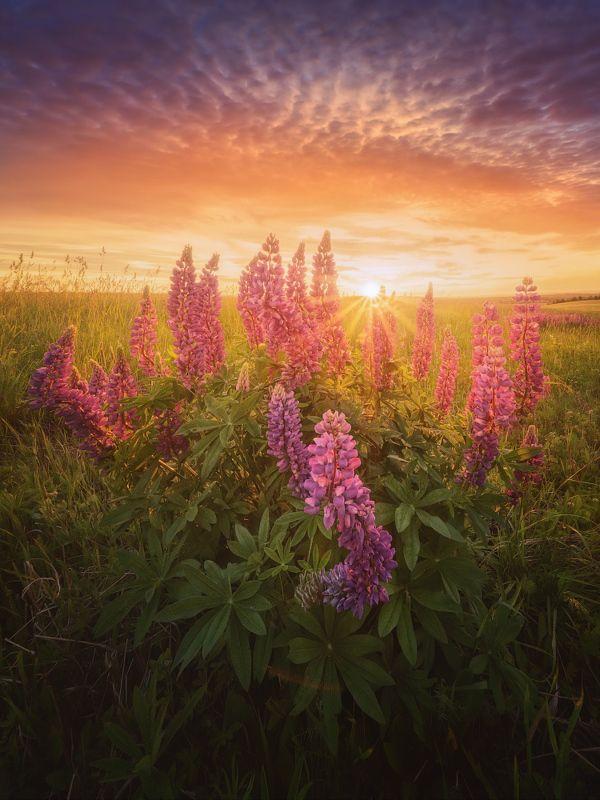 цветы, лето Пора цветения люпиновphoto preview