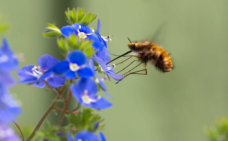 макро, природа, вероника, боке, насекомые, жужжала, муха муха жужжала и цветы вероники леснойphoto preview