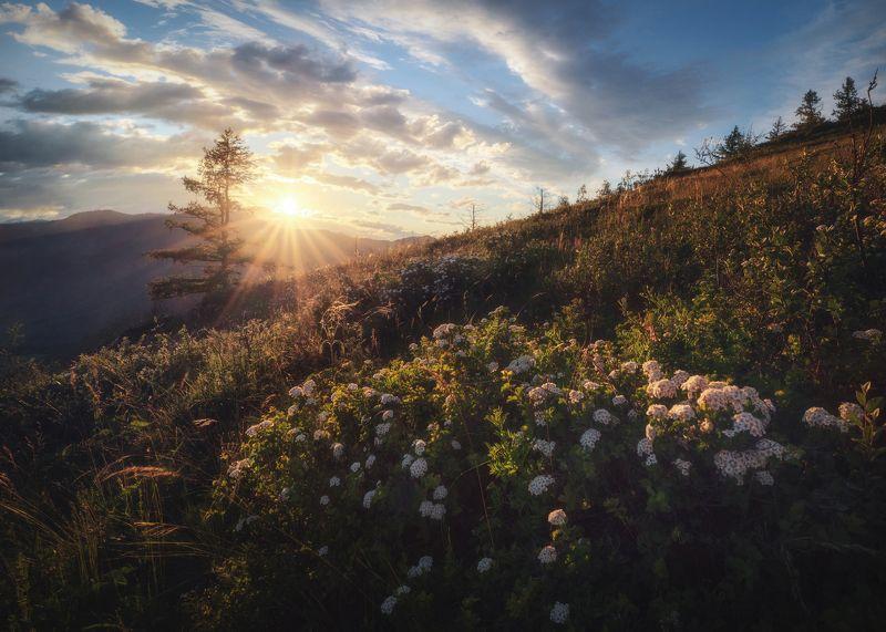 алтай, горный алтай, горы, спирея, цветение, чике-таман, онгудайский район, алтайское лето, июнь, altai mountains Спирея на закатеphoto preview