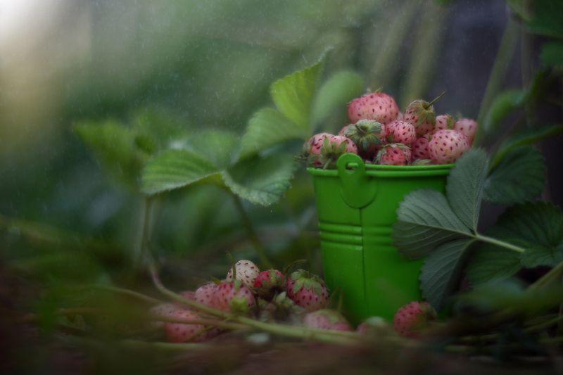 лето, клубника, ведро, урожай, ягоды Урожайноеphoto preview