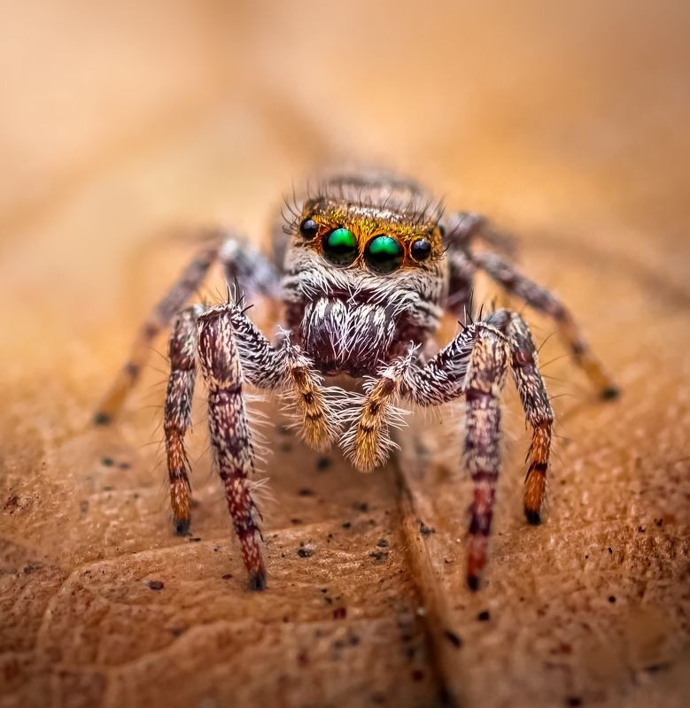 spider, animal, wild, insect, arachnid, leaf, macro, Jewelsphoto preview