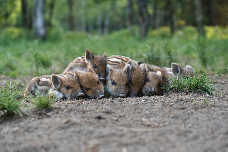 лес,животные,кабаны тихий часphoto preview