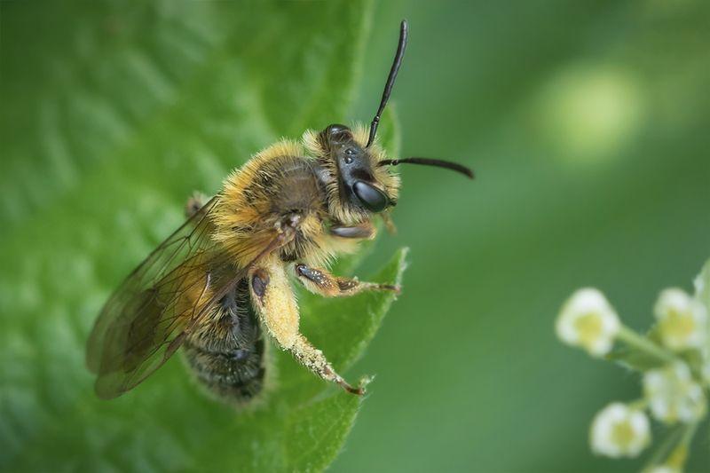 пчела, макро, macro, bee Трудяга работяга отдыхаетphoto preview