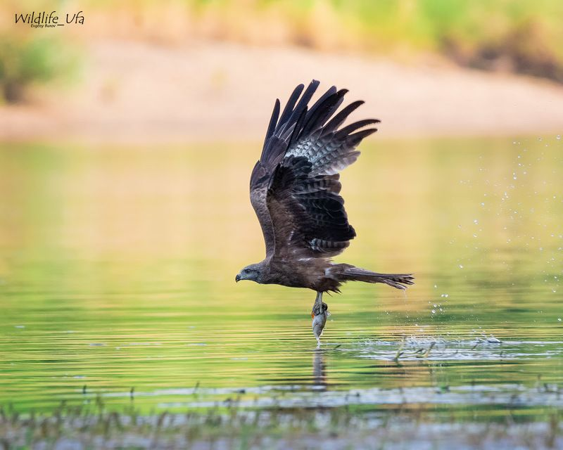Чёрный коршун / Black kite / Milvus migransphoto preview
