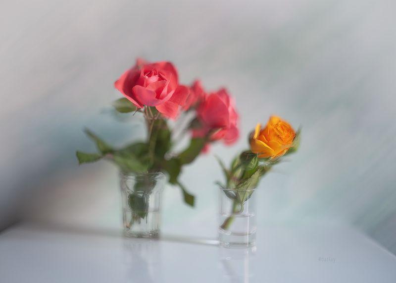 розы, желтая роза Фантазия с розово-желтым...photo preview