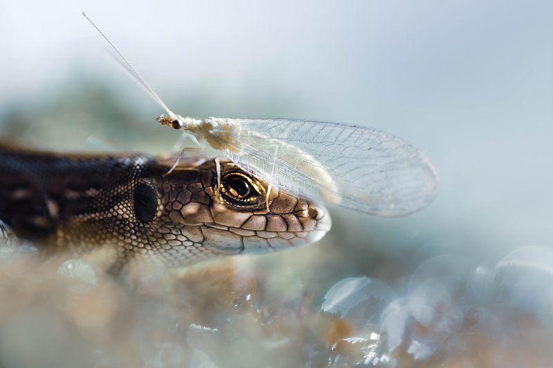 Ящерица и златоглазкаphoto preview