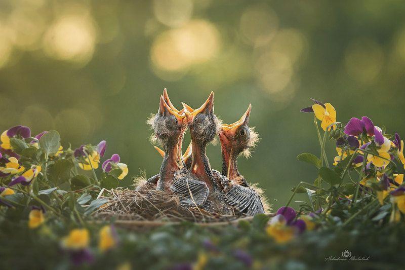 Kwiczoł (Turdus pilaris)photo preview