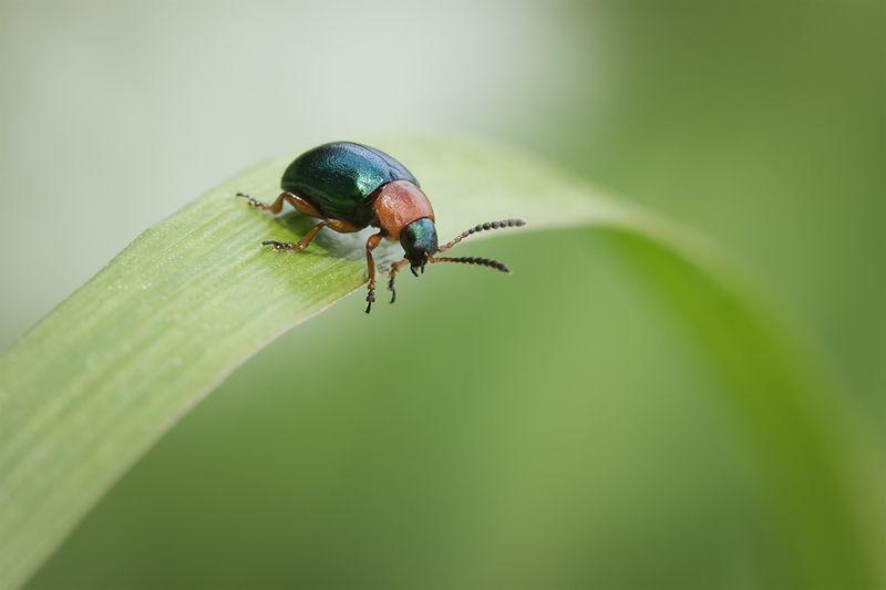 жук, макро, листоед, gastrophysapolygoni, macro Прыгать или лететь?photo preview