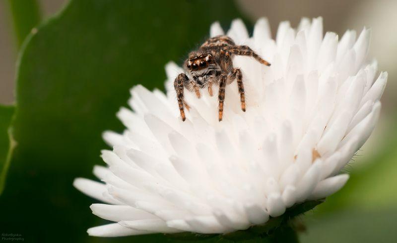 макро, природа, пауки, скакун, цветы, маргаритка, лето, macro, nature, spiders, horse, flowers, daisy, summer, ***photo preview