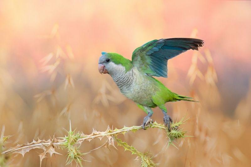 Вольный попугай на рассвете июньского дняphoto preview