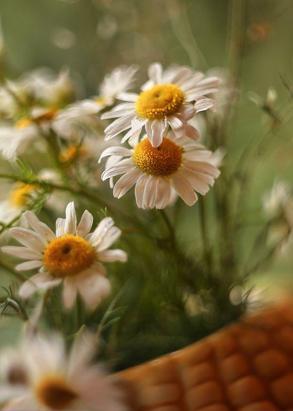 лето, ромашки, стихи, мой день рождения Белые ромашкиphoto preview