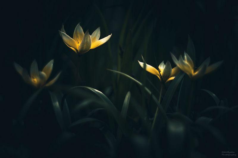 макро, природа, цветы, тюльпаны, весна,  Тюльпан Поздний (Tulipa Tarda)photo preview